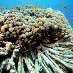 Umierająca rafa koralowa w okolicach Dahabu - maj 2011 roku.